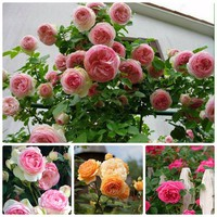 Hạt giống hoa hồng leo Pháp Mix nhiều màu gói 20 hạt xuất xứ Pháp