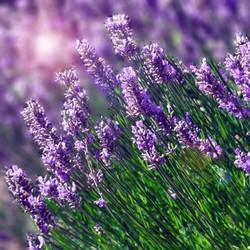 Hạt giống Hoa Oải Hương Lavender 100 HẠT