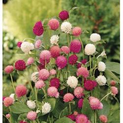 Hạt Giống Hoa Cúc Nút Áo Nhiều Màu