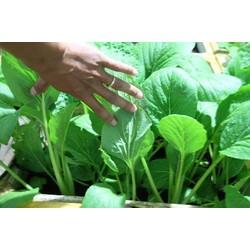 100 Cây rau giống 15 ngày thu hoạch.