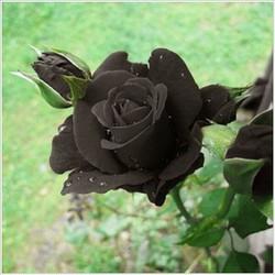 hạt giống hoa hồng đen