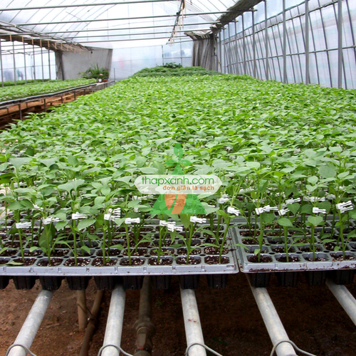 Bộ 10 khay nhựa ươm cây 105 lỗ, vỉ ươm hạt giống, khay nhựa pvc ươm hạt rau hoa - 16896229 , 4247608 , 15_4247608 , 100000 , Bo-10-khay-nhua-uom-cay-105-lo-vi-uom-hat-giong-khay-nhua-pvc-uom-hat-rau-hoa-15_4247608 , sendo.vn , Bộ 10 khay nhựa ươm cây 105 lỗ, vỉ ươm hạt giống, khay nhựa pvc ươm hạt rau hoa