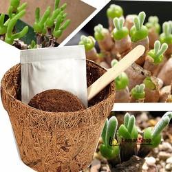 Hạt Giống Cây Tai Thỏ - Rabbit Plant Seed