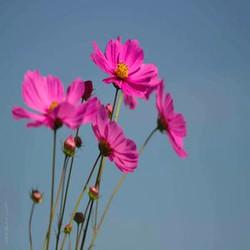 Hạt Giống Hoa Cúc Sao Nhái  nhiều màu