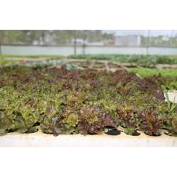 100 Cây xà lách giống tím 25 ngày thu hoạch