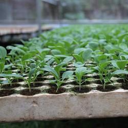 100 cây Cải ngọt giống 15 ngày thu hoạch
