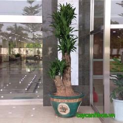 Cho thuê cây cảnh - cây xanh văn phòng tại hà nội