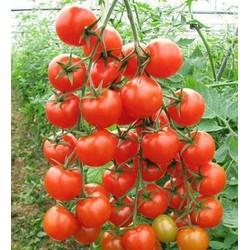 Hạt giống cà chua bi cao đỏ dễ trồng gói 30 hạt