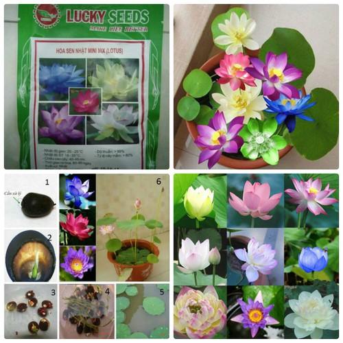 BỘ 20 Hạt giống hoa Sen Mini Nhật Bản Nhiều màu - 4964173 , 8022896 , 15_8022896 , 169000 , BO-20-Hat-giong-hoa-Sen-Mini-Nhat-Ban-Nhieu-mau-15_8022896 , sendo.vn , BỘ 20 Hạt giống hoa Sen Mini Nhật Bản Nhiều màu
