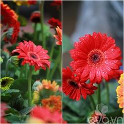 BỘ 10 gói Hạt giống hoa Cúc Đồng Tiền Mix nhiều màu TẶNG 1 kích mầm