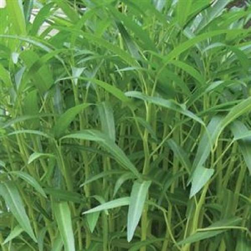 Hạt giống rau muống cao sản- rau muống lá tre cao sản F1 gói 50 gram xuất xứ Thái Lan