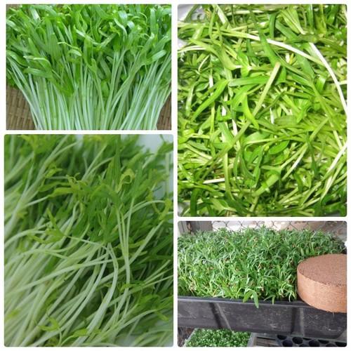 Hạt giống rau mầm rau muống gói 50 gram xuất xứ Việt Nam - 7822089 , 7306099 , 15_7306099 , 12000 , Hat-giong-rau-mam-rau-muong-goi-50-gram-xuat-xu-Viet-Nam-15_7306099 , sendo.vn , Hạt giống rau mầm rau muống gói 50 gram xuất xứ Việt Nam
