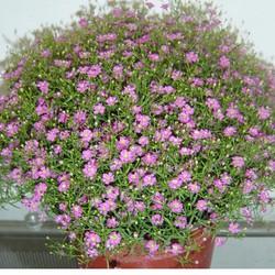 Hạt giống hoa Baby hồng xinh gói 100 hạt xuất xứ Đức