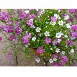 Hạt giống hoa Baby MIX màu trắng, tím gói 100 hạt xuất xứ Đức