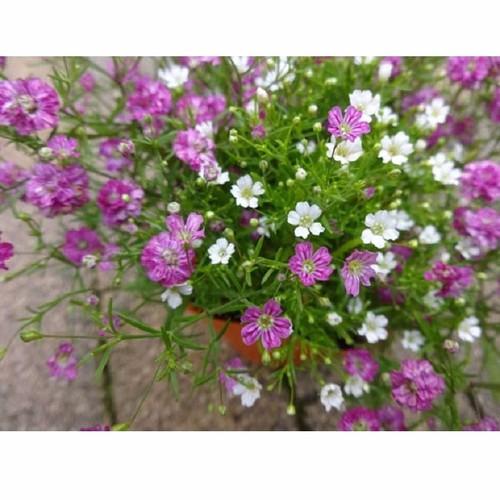 Hạt giống hoa Baby mix nhiều màu gói 100 hạt xuất xứ Đức