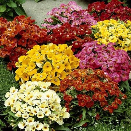 Hạt giống hoa cúc Nemesia Mix nhiều màu gói 100 hạt xuất xứ Đức - 5640405 , 9529292 , 15_9529292 , 40000 , Hat-giong-hoa-cuc-Nemesia-Mix-nhieu-mau-goi-100-hat-xuat-xu-Duc-15_9529292 , sendo.vn , Hạt giống hoa cúc Nemesia Mix nhiều màu gói 100 hạt xuất xứ Đức