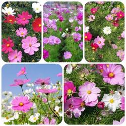 Hạt giống hoa sao nhái Mix nhiều màu gói 100 hạt xuất xứ Đức