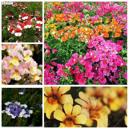 Hạt giống hoa cúc Nemesia Mix nhiều màu gói 100 hạt xuất xứ Đức - 5640409 , 9529300 , 15_9529300 , 35000 , Hat-giong-hoa-cuc-Nemesia-Mix-nhieu-mau-goi-100-hat-xuat-xu-Duc-15_9529300 , sendo.vn , Hạt giống hoa cúc Nemesia Mix nhiều màu gói 100 hạt xuất xứ Đức