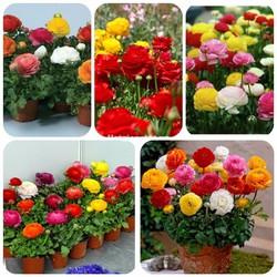 Hạt giống hoa hồng ri Ba Tư - Mao Lương - Mix gói 10 hạt xuất xứ Đức