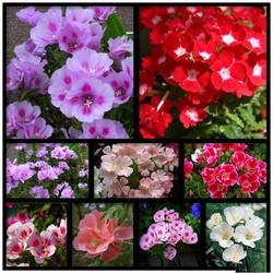 Hạt giống hoa hồng xuân Mix nhiều màu gói 50 hạt xuất xứ Đức