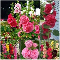 Hạt giống hoa mãn đình hồng kép Mix nhiều màu gói 10 hạt xuất xứ Đức