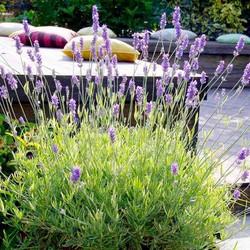 Hạt giống hoa oải hương Lavender tím hàng NGA