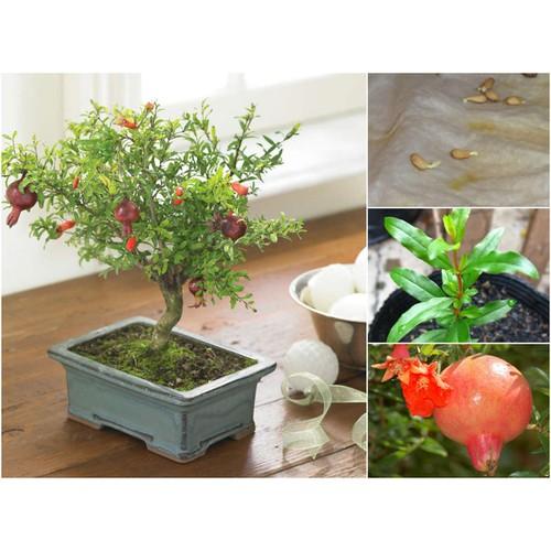 Bộ 02 gói hạt giống cây lựu lùn đỏ tặng 1 phân bón - 16934706 , 8008656 , 15_8008656 , 55000 , Bo-02-goi-hat-giong-cay-luu-lun-do-tang-1-phan-bon-15_8008656 , sendo.vn , Bộ 02 gói hạt giống cây lựu lùn đỏ tặng 1 phân bón