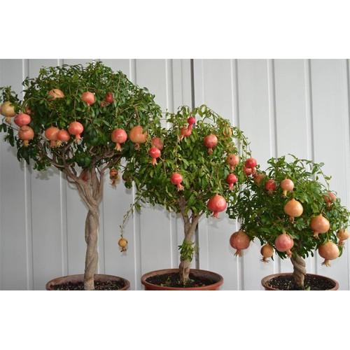 BỘ 06 gói Hạt giống cây lựu lùn đỏ tặng kèm 02 gói phân bón - 10417608 , 8024494 , 15_8024494 , 110000 , BO-06-goi-Hat-giong-cay-luu-lun-do-tang-kem-02-goi-phan-bon-15_8024494 , sendo.vn , BỘ 06 gói Hạt giống cây lựu lùn đỏ tặng kèm 02 gói phân bón