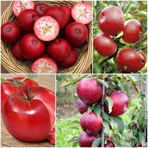 BỘ 6 Gói Hạt giống táo đỏ lùn tặng kèm 2 gói phân bón