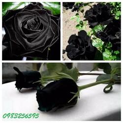 Hạt giống hoa hồng đen gói 5 hạt xuất xứ Đức