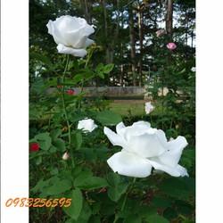 Hạt giống hoa hồng bạch gói 5 hạt xuất xứ Đức