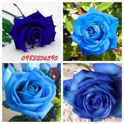 Hạt giống hoa hồng leo xanh gói 5 hạt xuất xứ Đức