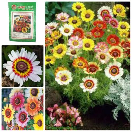 Hạt giống hoa cúc chi mix nhiều màu lucky seeds  - 100 hạt