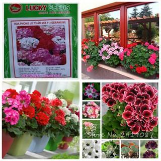 Hạt giống hoa Phong lữ thảo mix nhiều màu gói 10 hạt - Lucky seed phong lu thao thumbnail
