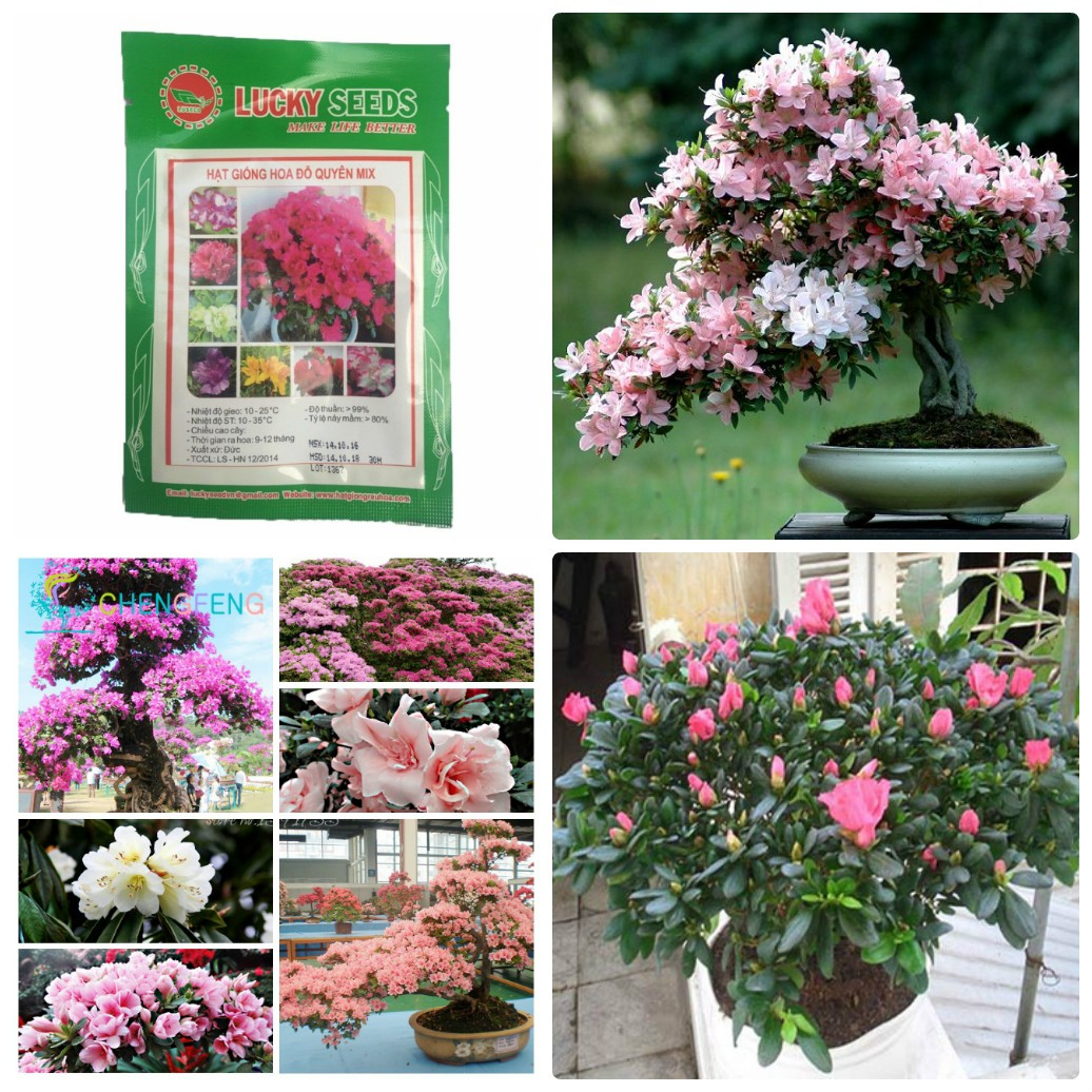 Hạt giống hoa Đỗ Quyên nhiều màu 30 hạt- hoa do quyen