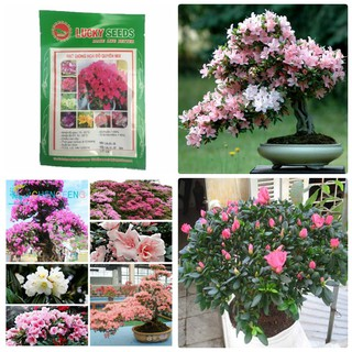 Hạt giống hoa Đỗ Quyên nhiều màu 30 hạt- hoa do quyen - hoa do quyen thumbnail