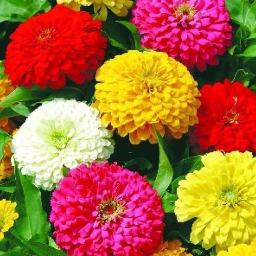 Hạt giống cúc lá nhám nhiều màu cao sản