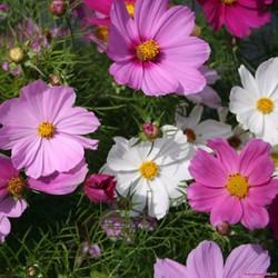 Hạt giống hoa sao nhái cao sản nhiều màu