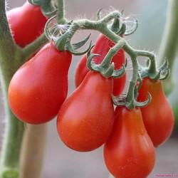 Hạt giống cà chua bi lê quả đỏ gói 30 hạt xuất xứ Đức