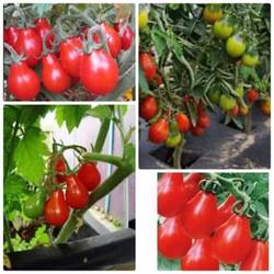 Hạt giống cà chua bi lê quả đỏ nhập khẩu Đức gói 30 hạt