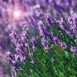 Hạt giống hoa Oải Hương Tím