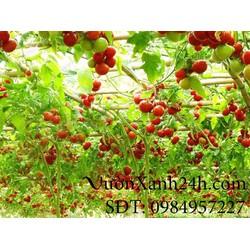 Hạt giống cà chua Bạch Tuộc