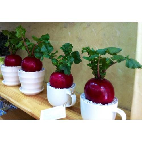 Hạt giống Củ cải đỏ khổng lồ