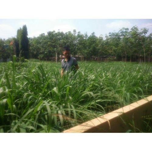 Hạt giống cỏ Sả lá lớn 0,5kg