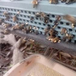 mật ong phấn hoa của nhà bán cho chị em khi mới sinh e bé