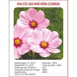 Hạt giống hoa Cúc Sao Nhai hồng