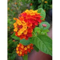 Hoa cuc 2 - 9