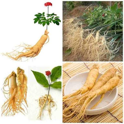Gói lớn 100 hạt giống sâm Hàn Quốc TẶNG 1 kích mầm - 5600338 , 12022139 , 15_12022139 , 380000 , Goi-lon-100-hat-giong-sam-Han-Quoc-TANG-1-kich-mam-15_12022139 , sendo.vn , Gói lớn 100 hạt giống sâm Hàn Quốc TẶNG 1 kích mầm