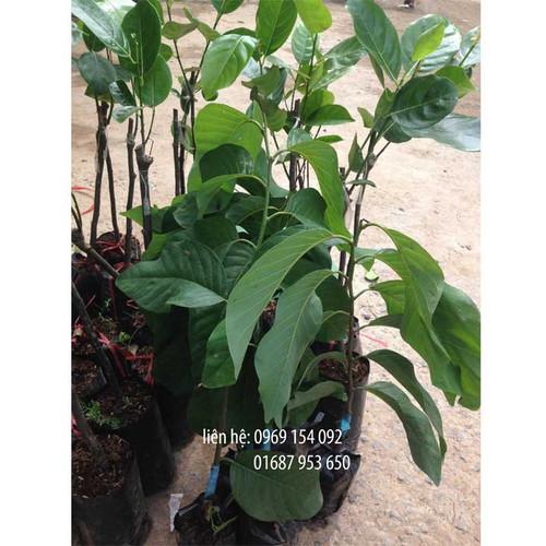 Cây giống na thái bộ 04 cây - 5597467 , 12018480 , 15_12018480 , 160000 , Cay-giong-na-thai-bo-04-cay-15_12018480 , sendo.vn , Cây giống na thái bộ 04 cây