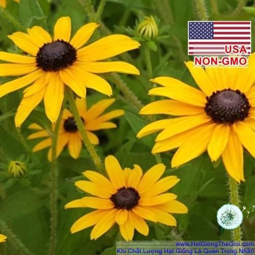 50h Hạt Giống Hoa Cúc Tâm Đen Rudbeckia - Susan 70cm Rudbeckia hirta